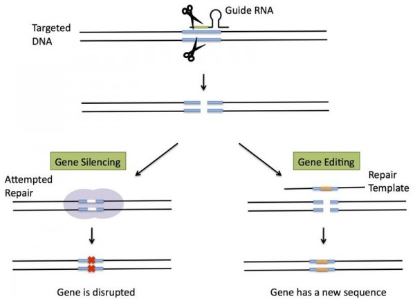 Gene silencing and targeting with CRISPR. (Science in the News, Harvard)